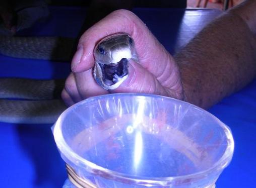 Яд черной мамбы может заменить морфин